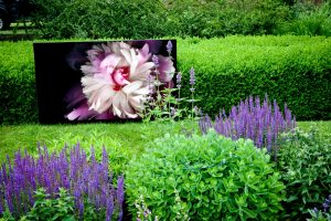 peony-meadowbrook-large